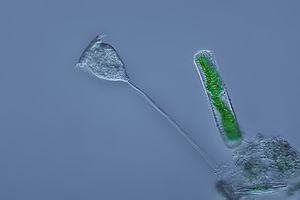 Alveolate - Image: Mikrofoto.de Glockentierchen 1