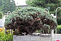 Mini-tree (20165053142).jpg