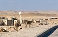 Mitzpe Ramon Ibex roaming Mitzpe Ramon (15266961149).jpg