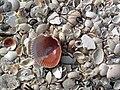 Mollusc shells on marine beach (Cayo Costa Island, Florida, USA) 9 (23699384894).jpg