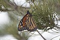 Monarch Butterfly (resting during migration) Rusty's Rodeo NM 2017-10-14 18-30-25 (37069838843).jpg