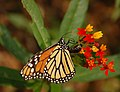 Monarch Butterfly Danaus plexippus Laying Egg 2600px.jpg