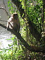 Monkey from wayanad (2).JPG