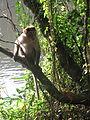 Monkey from wayanad (2).JPG