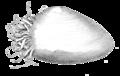 Monobrachium parasitum.png