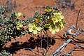 Monsonia spinosa (Geraniaceae) (37241740510).jpg