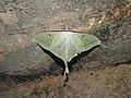 Moon Moth Actias selene by Dr. Raju Kasambe DSCN8672 (9).jpg