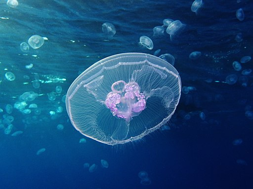 Moon jellyfish at Gota Sagher