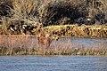 Moose on Seedskadee National Wildlife Refuge (34393652666).jpg