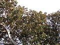 Moreton Bay Fig, Balboa Park, SD 2.JPG