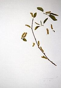Morus alba BW-1980-0606-0445.jpg