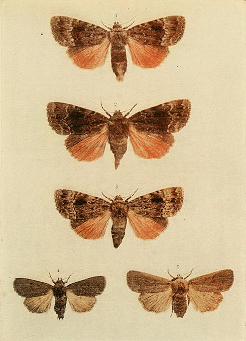 Moths of the British Isles Plate154.jpg