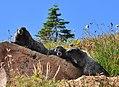 Mount Rainier - September 2017 - Hoary marmots 40 (cropped).jpg