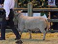 Mouton charollais SDA2010.JPG