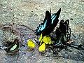Mud-puddling butterflies by Joseph Lazer.jpg