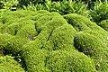 Muehlenbeckia axillaris kz01.jpg