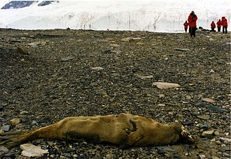 McMurdo Dry Valleys - Mummified seal carcass