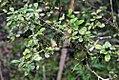 Murraya paniculata 14zz.jpg