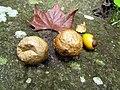 Mushrooms! Mill Trail Umstead NC SP 4327 (6641038889) (2).jpg
