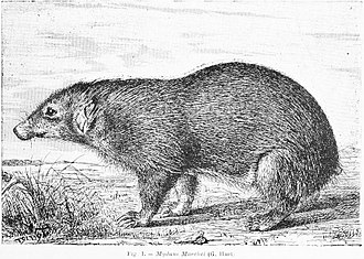 Palawan stink badger - Image: Mydaus marchei Palawan stink badger Huet 1887