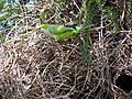 Myiopsitta monachus -Santiago, Chile -nest-8 (1).jpg