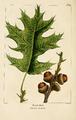 NAS-024 Quercus velutina.png