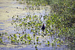 NASA Kennedy Wildlife - Common Moorhen (2).jpg