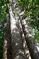 NZ150415 Waipoua Forest Four Sisters 01.jpg