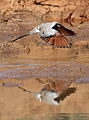 Namaqua dove, Oena capensis, at Mapungubwe National Park, Limpopo, South Africa (17468688103).jpg