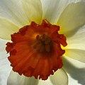 Narcissus (8655480762).jpg