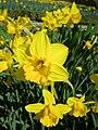 Narcissus (California cultivar), Real Jardín Botánico, Madrid(2).jpg