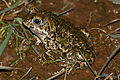 Natterjack Toad (Epidalea calamita) male (16184398633).jpg