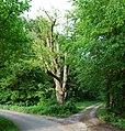 Naturdenkmal Dresel-Feme-Eiche im Märkischen Kreis bei Elverlingsen (zu Werdohl) an einer Seitenstraße von der Straße Dresel.JPG