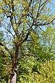 Naturdenkmal Stiel-Eiche am Wiesensteig in St. Martin (VS 12)f.JPG