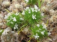 Navarretia fossalis