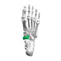 Navicular bone04.png