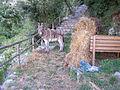 Neapolitan donkey.jpg