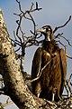 Necrosyrtes monachus -Sabi Sand Reserve, Mpumalanga province, South Africa-8.jpg