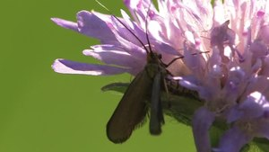 File:Nemophora metallica - 2012-07-22.ogv
