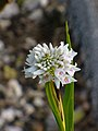 Neobenthamia gracilis - Flickr 003.jpg