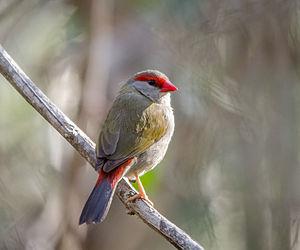 Red-browed finch - In Brisbane, Queensland, Australia