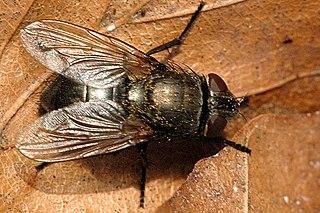 <i>Neomyia</i> genus of insects
