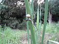 Net-casting spider (4262361030).jpg