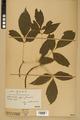 Neuchâtel Herbarium - Acer negundo - NEU000026054.tiff