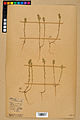 Neuchâtel Herbarium - Alyssum alyssoides - NEU000021945.jpg