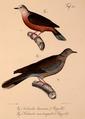 Neue Wirbelthiere zu der Fauna von Abyssinien gehörig (1835) Columba larvata & Streptopelia semitorquata.png