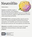 Neutrófilo (Neutrophil) (36583987456).jpg
