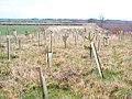 New strip wood - geograph.org.uk - 339588.jpg