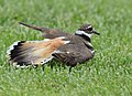 No one can fake an injury like a Killdeer (34936651385).jpg
