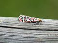 Nomeolvides (Utetheisa pulchella).jpg